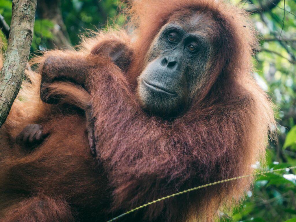 <em>Video:</em> Vores rødhårede fætre er i fare – orangutanger er ved at uddø
